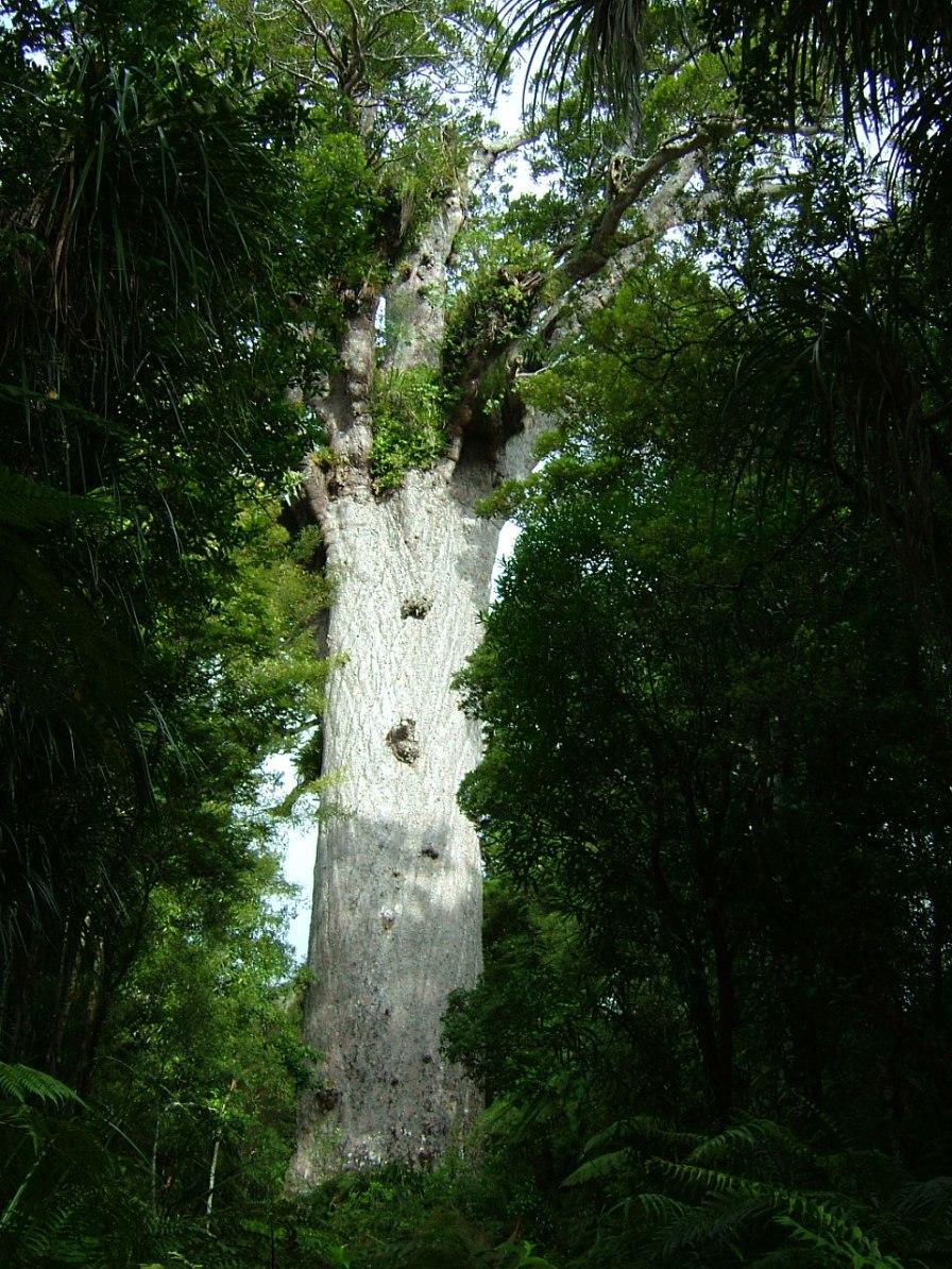 マオリ語で「森の神」を意味する「タネ・マフタ」の推定樹齢は1200-2500年とされています。2009年、屋久島縄文杉と世界で始めての「姉妹木」の締結を交わした。